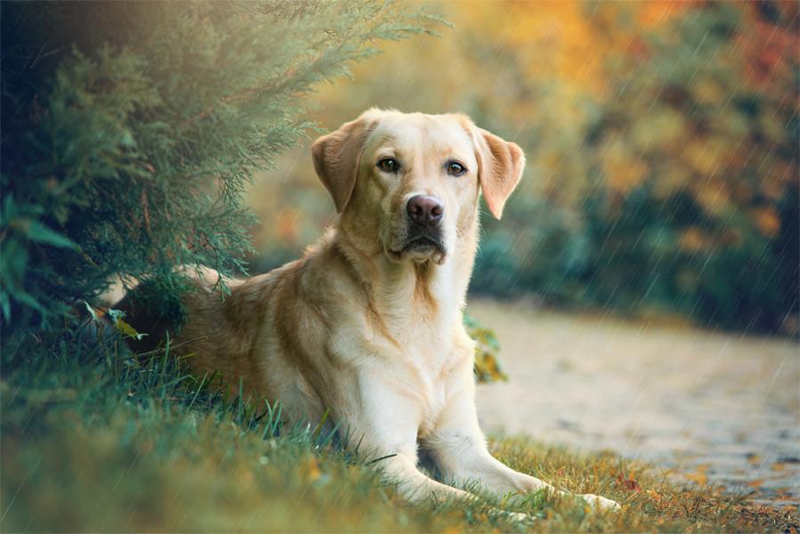 Labrador Cinsi Köpeklerin Özellikleri
